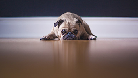 pug laying on a wooden floor looking sad