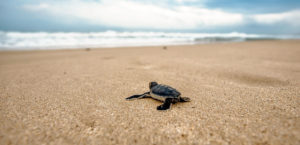 bali sea turtle society